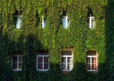 Πράσινες άμπελοι πέρα από τα παράθυρα, αρχιτεκτονική, τοίχος που καλύπτεται με τις αμπέλους στοκ φωτογραφία