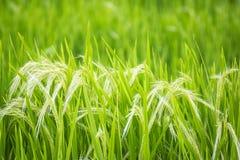 Πράσινες ακίδες κριθαριού Στοκ Εικόνα