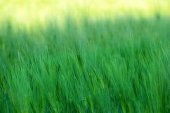 Πράσινες ακίδες κριθαριού Στοκ φωτογραφίες με δικαίωμα ελεύθερης χρήσης