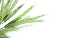 Πράσινες ακίδες σίκαλης Στοκ φωτογραφία με δικαίωμα ελεύθερης χρήσης