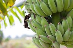 Πράσινες ακατέργαστες μπανάνες Νέα πράσινη μπανάνα στο δέντρο Στοκ Εικόνες