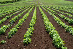 Πράσινες Γραμμές λαχανικά