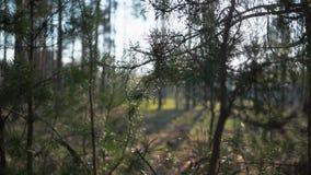 Πράσινες δασικές δασικές άθικτες ερυθρελάτες νεράιδων δέντρων πεύκων Δασικό σχέδιο απόθεμα βίντεο