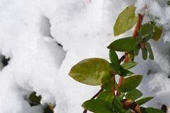 Πράσινες εγκαταστάσεις ενάντια στενό σε επάνω χιονιού Στοκ εικόνα με δικαίωμα ελεύθερης χρήσης