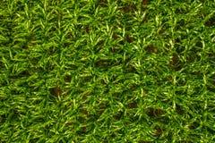Πράσινες εγκαταστάσεις, πράσινο υπόβαθρο, φυσική σύσταση, εναέρια κορυφή κάτω από την άποψη ενός πράσινου τομέα καλαμποκιού στοκ φωτογραφία με δικαίωμα ελεύθερης χρήσης