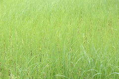 Πράσινες εγκαταστάσεις ρυζιού στο καλλιεργήσιμο έδαφος σε αγροτικό Στοκ Εικόνες