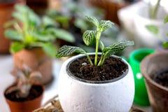 Πράσινες εγκαταστάσεις σπιτιών fittonia σε ένα άσπρο δοχείο λουλουδιών Στοκ εικόνα με δικαίωμα ελεύθερης χρήσης