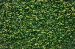Πράσινες εγκαταστάσεις στον πέτρινο τοίχο Στοκ Φωτογραφία
