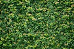 Πράσινες εγκαταστάσεις στον πέτρινο τοίχο Στοκ φωτογραφία με δικαίωμα ελεύθερης χρήσης
