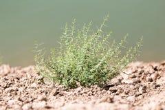 Πράσινες εγκαταστάσεις στο ξηρό χώμα στη φύση Στοκ φωτογραφία με δικαίωμα ελεύθερης χρήσης