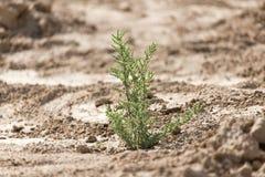 Πράσινες εγκαταστάσεις στο ξηρό χώμα στη φύση Στοκ Εικόνα