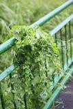 Πράσινες εγκαταστάσεις στο φράκτη Στοκ Εικόνες