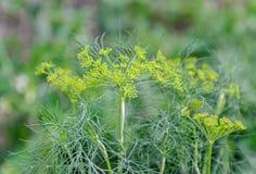 Πράσινες εγκαταστάσεις Anethum άνηθου graveolens με τα μικρούς λουλούδια και τον οφθαλμό Στοκ εικόνες με δικαίωμα ελεύθερης χρήσης