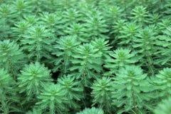 Πράσινες εγκαταστάσεις aquaticum Myriophyllum Στοκ Εικόνες
