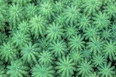 Πράσινες εγκαταστάσεις aquaticum Myriophyllum Στοκ εικόνα με δικαίωμα ελεύθερης χρήσης