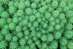 Πράσινες εγκαταστάσεις aquaticum Myriophyllum Στοκ Φωτογραφία