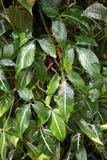 Πράσινες εγκαταστάσεις podophyllum Syngonium στον κήπο φύσης Στοκ Φωτογραφία