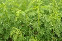 Πράσινες εγκαταστάσεις Southernwood (Artemisia Abrotanum) Στοκ Εικόνα