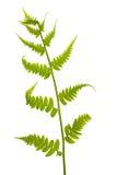πράσινες ενιαίες λευκές νεολαίες φτερών Στοκ εικόνα με δικαίωμα ελεύθερης χρήσης