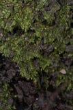 Πράσινες λεπτομέρειες βρύου Στοκ Εικόνα
