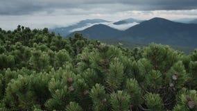 Πράσινες ερυθρελάτες με τους κώνους στην κορυφή βουνών στη νεφελώδη θυελλώδη θερινή ημέρα μετακίνηση ομαλή απόθεμα βίντεο