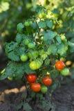 Πράσινες και κόκκινες ντομάτες στην κινηματογράφηση σε πρώτο πλάνο κήπων υπαίθρια Στοκ Φωτογραφία