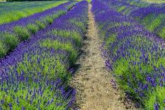 Πράσινες και πορφυρές σειρές lavender Στοκ φωτογραφία με δικαίωμα ελεύθερης χρήσης