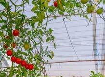 Πράσινες, κόκκινες ντομάτες κερασιών που αυξάνονται στον κήπο Στοκ Εικόνες
