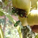 Πράσινες μέλισσες Στοκ Φωτογραφία