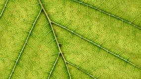 Πράσινες μακροεντολή φύλλων και λεπτομέρειες φλεβών Ανασκόπηση έννοιας οικολογίας Στοκ εικόνες με δικαίωμα ελεύθερης χρήσης