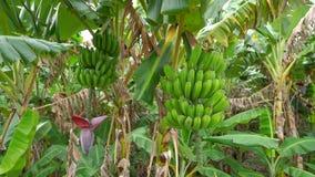 Πράσινες μπανάνες σε ένα δέντρο σε 4k απόθεμα βίντεο