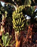 Πράσινες μπανάνες στο δέντρο, Tenerife. Στοκ Φωτογραφία