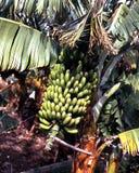 Πράσινες μπανάνες στο δέντρο, Tenerife. Στοκ εικόνες με δικαίωμα ελεύθερης χρήσης