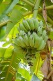 Πράσινες μπανάνες, φρέσκες από το δέντρο Στοκ φωτογραφία με δικαίωμα ελεύθερης χρήσης