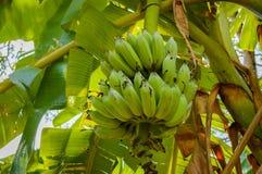 Πράσινες μπανάνες, φρέσκες από το δέντρο Στοκ Εικόνες