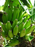 Πράσινες μπανάνες Στοκ Εικόνα