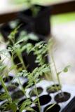 Πράσινες, νέες ντομάτες σποροφύτων Στοκ Εικόνες