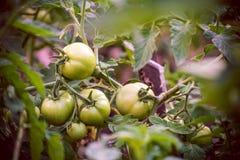 πράσινες ντομάτες γεωργία comcept Στοκ Εικόνες