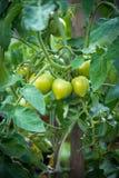 πράσινες ντομάτες γεωργία comcept Στοκ Φωτογραφίες