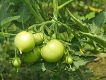 πράσινες ντομάτες θερμοκηπίων Στοκ φωτογραφία με δικαίωμα ελεύθερης χρήσης