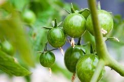 πράσινες ντομάτες κερασ&iot Στοκ εικόνες με δικαίωμα ελεύθερης χρήσης