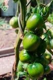 πράσινες ντομάτες κλάδων Στοκ Φωτογραφίες