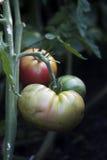 Πράσινες ντομάτες οικογενειακών κειμηλίων Στοκ Εικόνα