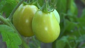 Πράσινες ντομάτες που κρεμούν σε έναν κλάδο απόθεμα βίντεο