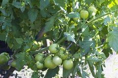 Πράσινες ντομάτες σε έναν θάμνο Στοκ εικόνα με δικαίωμα ελεύθερης χρήσης