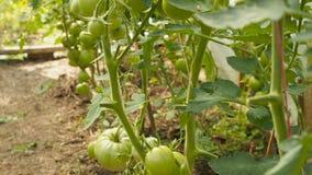 Πράσινες ντομάτες στον κλάδο απόθεμα βίντεο