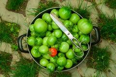 Πράσινες ντομάτες συγκομιδών Στοκ φωτογραφία με δικαίωμα ελεύθερης χρήσης