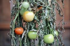 πράσινες ντομάτες Στοκ φωτογραφία με δικαίωμα ελεύθερης χρήσης