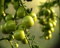πράσινες ντομάτες Στοκ Φωτογραφίες