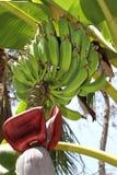 Πράσινες οργανικές μπανάνες Στοκ Φωτογραφία